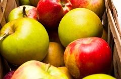 Darmowe jabłka dla mieszkańców gminy Łańcut