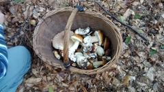 Sezon grzybowy wpełni - uwaga na trujaki!