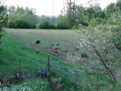 Dziki przy zabudowaniach